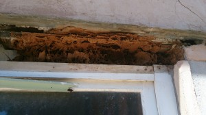 Termites above windopw frame